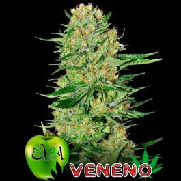 VENENO - Samsara Seeds - Eva Seeds