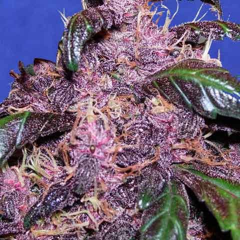 AUTO PURPLE - Original Sensible - Seed Banks