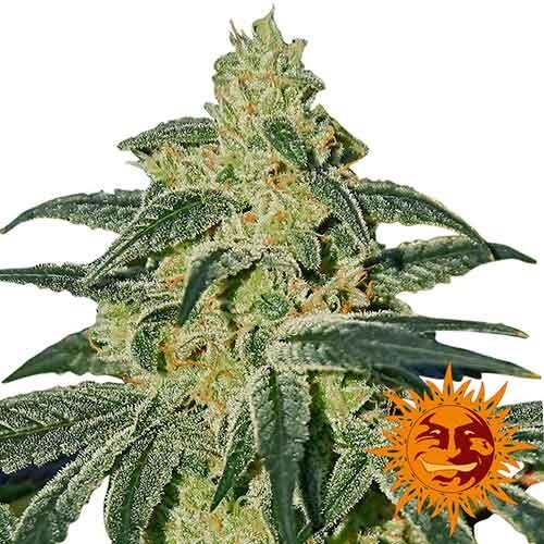 AFGHAN HASH PLANT REGULAR - 10 seeds - Barney's Farm - Seed Banks