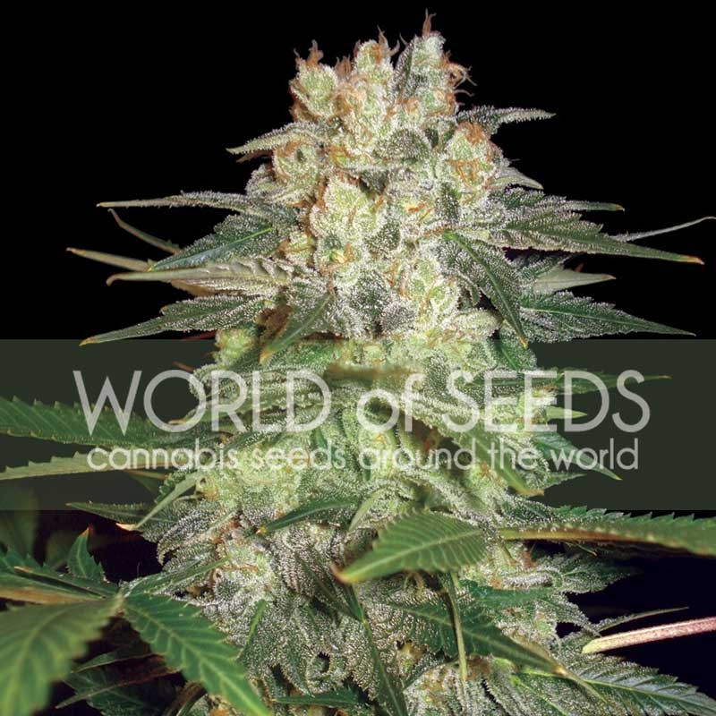 AFGHAN KUSH RYDER  - World of Seeds - Seed Banks