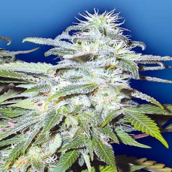 Afghanica - 10 seeds - Flying Dutchmen - Seed Banks