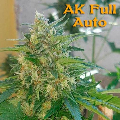 AK Full Auto - 3 seeds - Sumo Seeds - Seed Banks