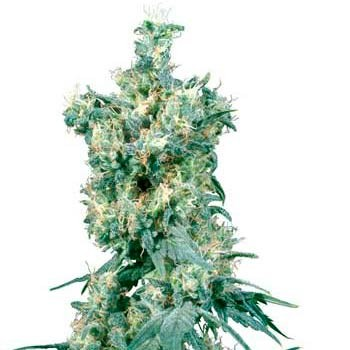 AMERICAN DREAM REGULAR - Sensi Seeds - Seed Banks