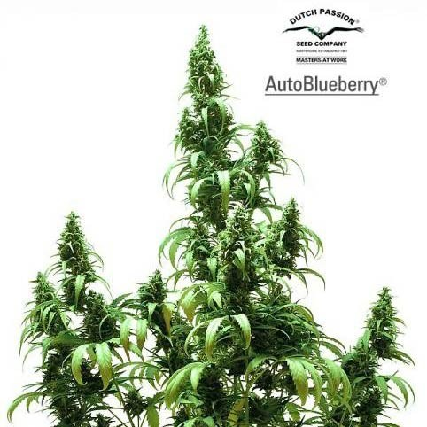 AUTO BLUEBERRY - Dutch Passion - Seed Banks