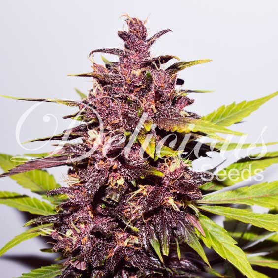 AUTO DARK PURPLE - Delicious Seeds - Seed Banks
