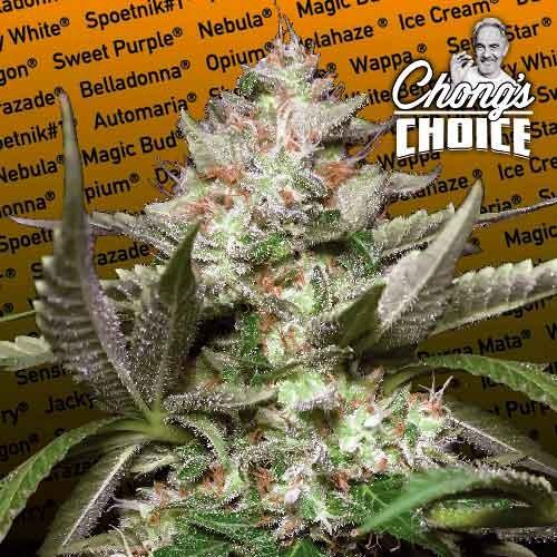 Auto Kong - Paradise Seeds - Seed Banks
