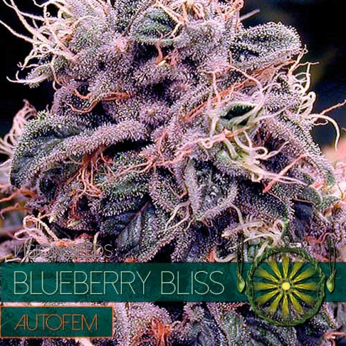 BLUEBERRY BLISS AUTO - Vision Seeds - Seed Banks