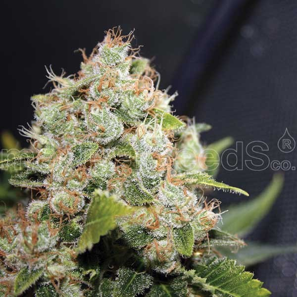 BCN SOUR DIESEL - Medical Seeds - Seed Banks