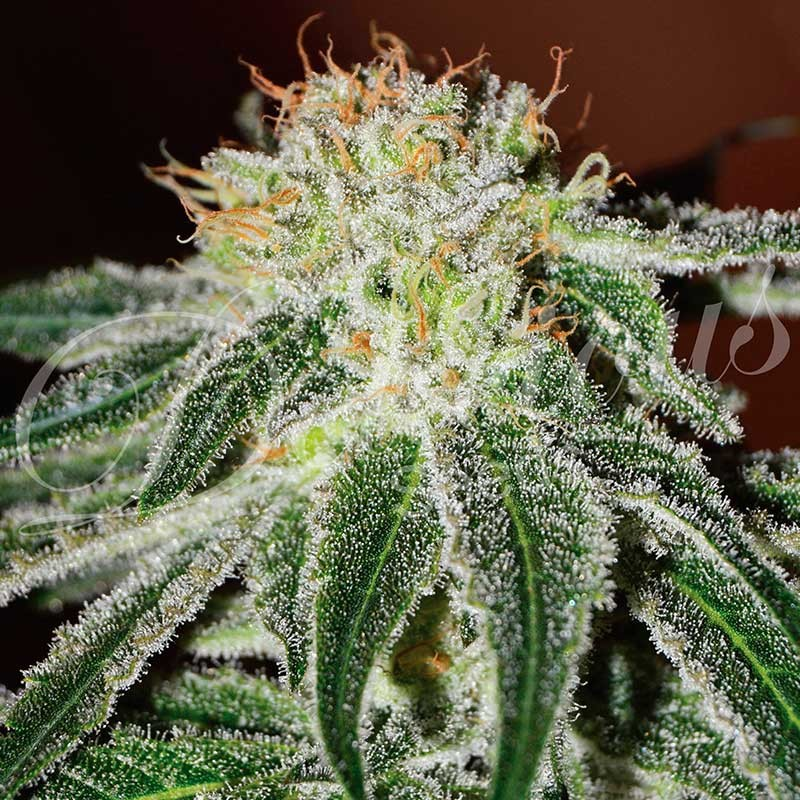Black Russian - Delicious Seeds - Seed Banks