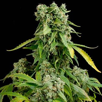 BLUE CHEESE AUTO  - Dinafem - Seed Banks