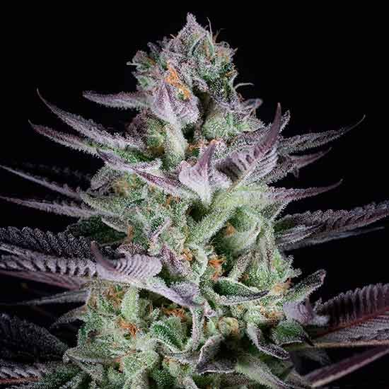 Blueberry Cookies - Dinafem - Seed Banks