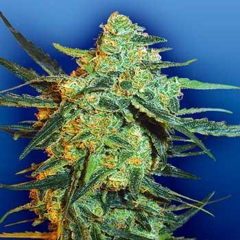 Blueberry Skunk - 5 seeds - Flying Dutchmen - Seed Banks