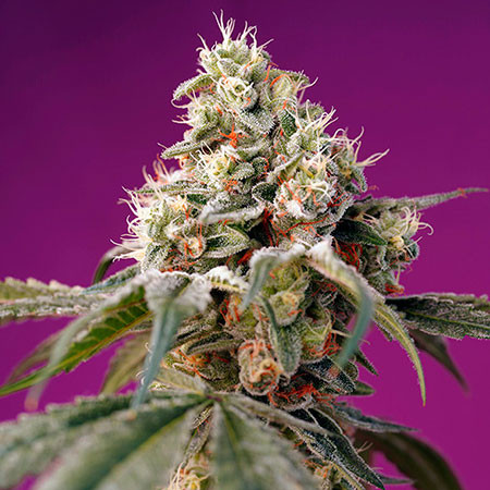 Bruce Banner Auto - Sweet Seeds - Seed Banks