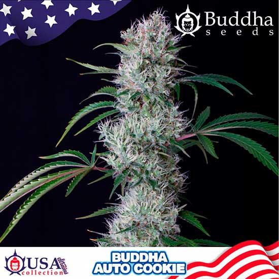 BUDDHA AUTO COOKIE - Buddha Seeds - Seed Banks