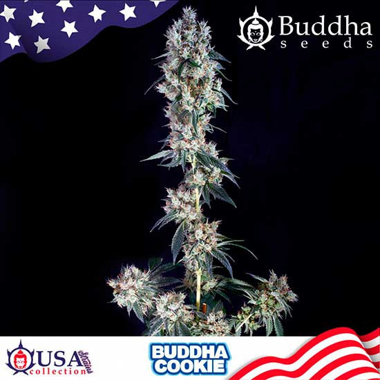 BUDDHA COOKIE - Buddha Seeds - Seed Banks
