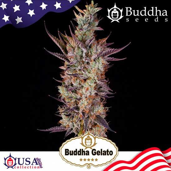 BUDDHA GELATO - Buddha Seeds - Seed Banks