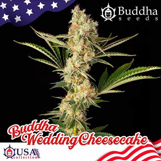 BUDDHA WEDDING CHEESECAKE - Buddha Seeds - Seed Banks