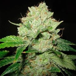 Cal-Train Wreck  - 5 seeds - Sagarmatha - Seed Banks