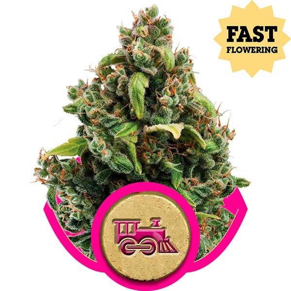 Candy Kush Express (Fast Flowering) - Royal Queen Seeds - Seed Banks