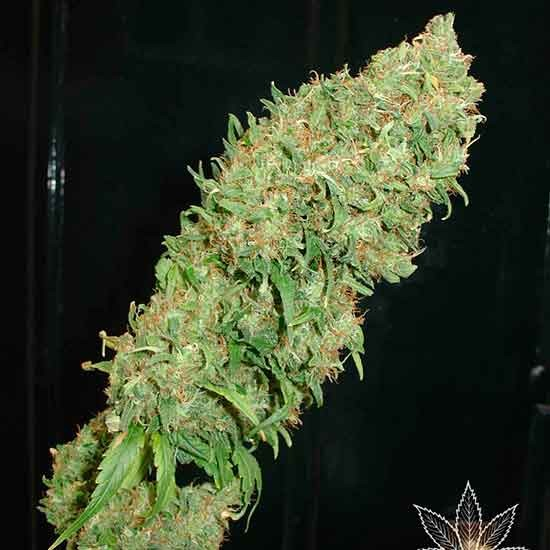 Caramella Auto - 5 seeds - Fantaseeds - Seed Banks