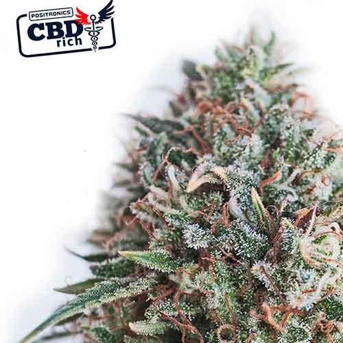 CBD Critical 47 - Positronics - Seed Banks