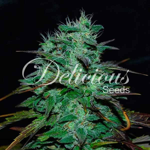 Chocobang - Delicious Seeds - Seed Banks