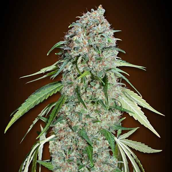 Chocolate Skunk CBD - 5 seeds - 00 Seeds - Seed Banks