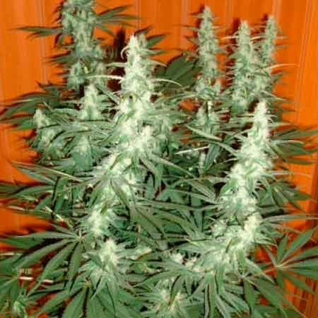 COLE TRAIN - FEM (DNA RESERVA PRIVADA) - Reserva Privada - Seed Banks