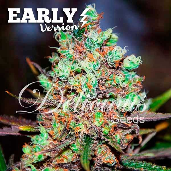 COTTON CANDY KUSH EARLY VERSION - Delicious Seeds - Seed Banks