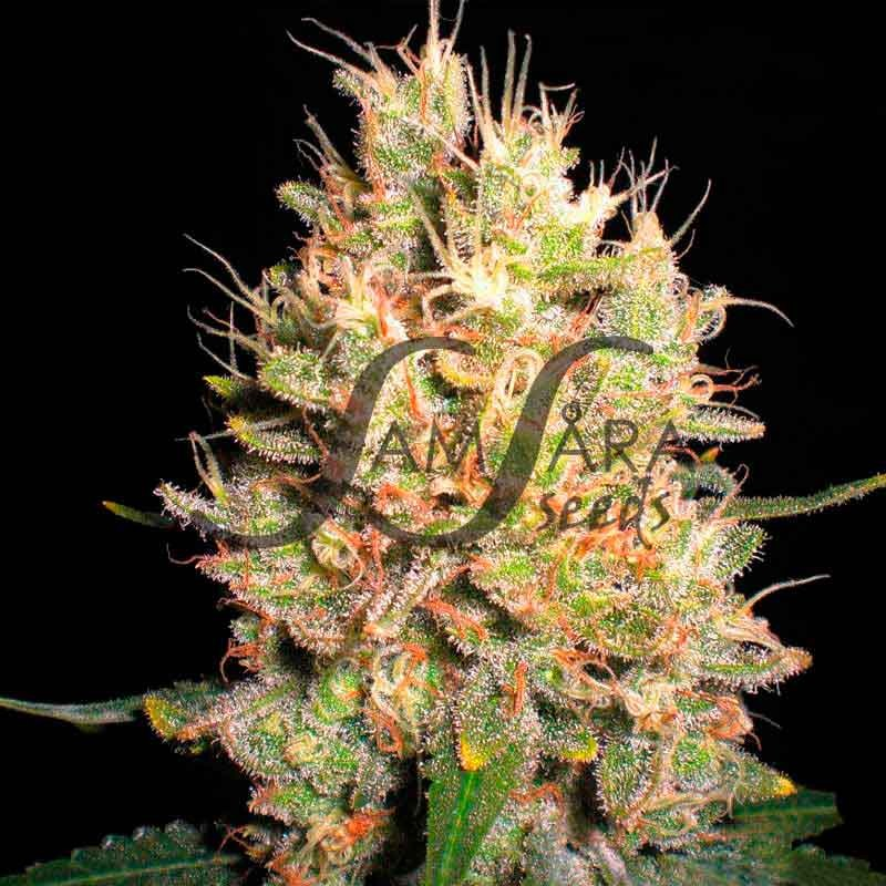 Crazy Miss Hyde - FEMINISED SEEDS - Samsara Seeds