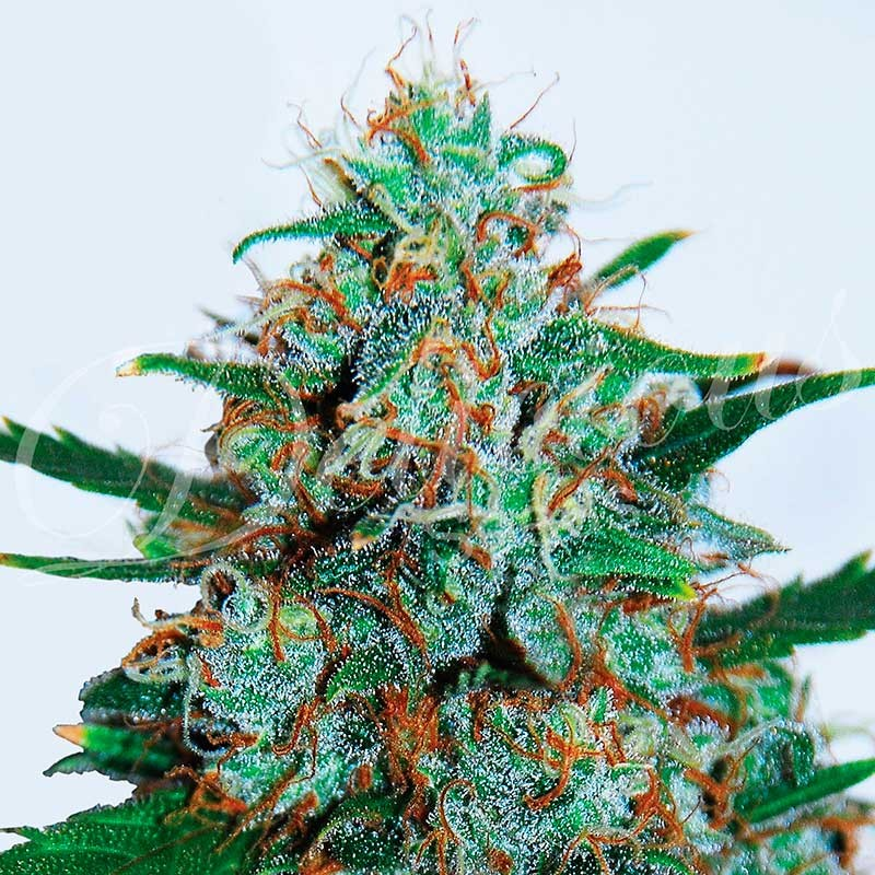 CRITICAL NEVILLE HAZE AUTO - Delicious Seeds - Seed Banks