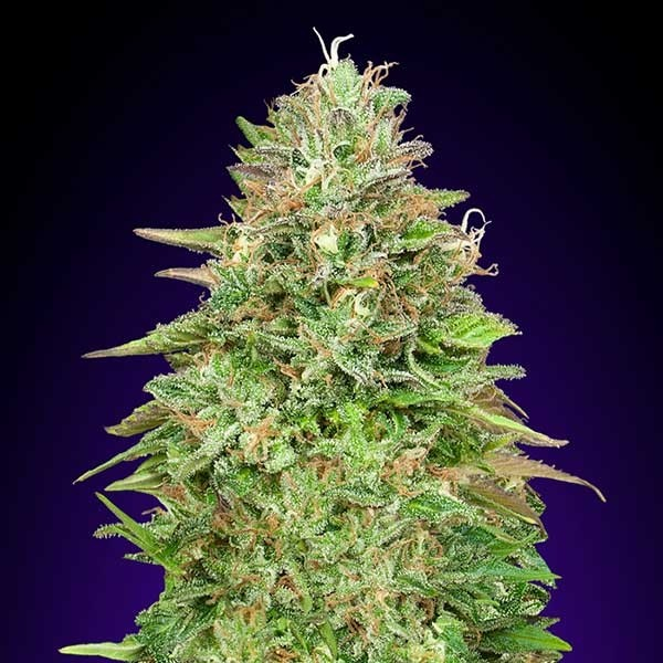 Critical Poison Fast - 5 seeds - 00 Seeds - Seed Banks