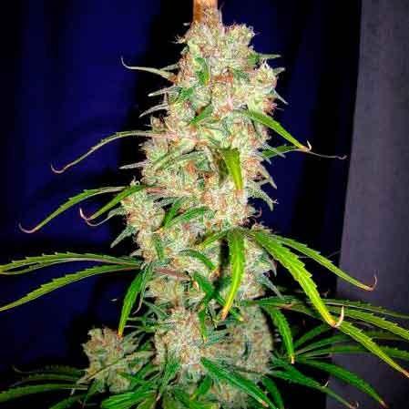 Destroyer  Regular – 10 seeds - Cannabiogen - Seed Banks