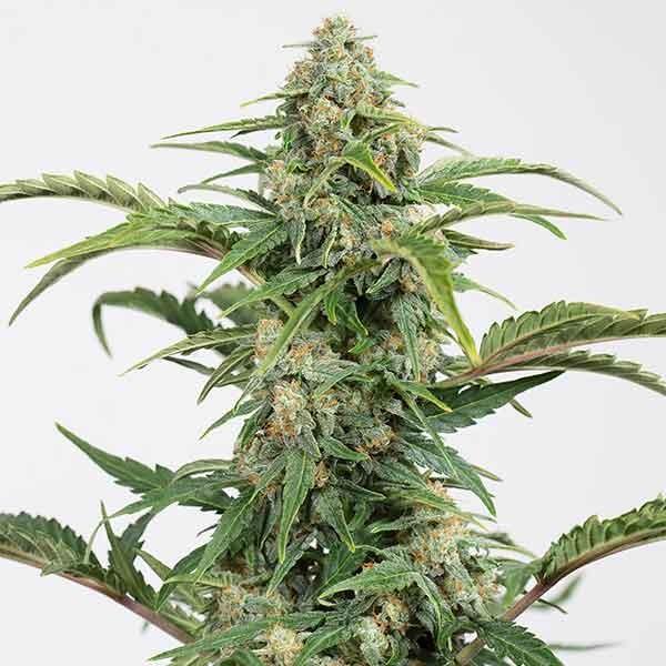 Dinamed CBD Autoflowering - Dinafem - Seed Banks