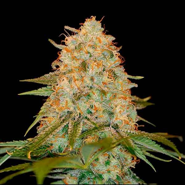 LA Chocolat - DNA genetics - Seed Banks