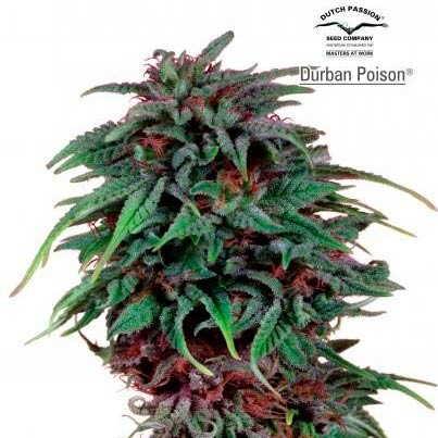 Durban Poison Reg. - Dutch Passion - Seed Banks