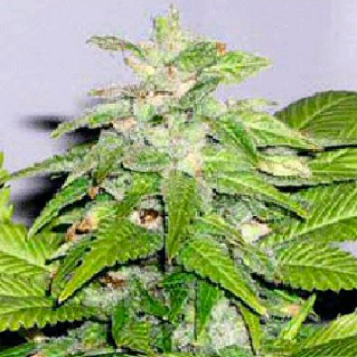 Early Bird Skunk  - 5 seeds - Sagarmatha - Seed Banks