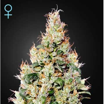 Exodus Cheese Auto CBD - GreenHouse - Seed Banks
