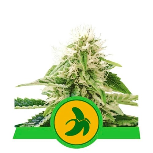Fat Banana Automatic - Royal Queen Seeds - Seed Banks