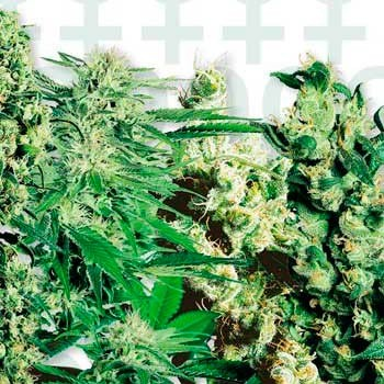 FEMINIZED MIX - Sensi Seeds - Seed Banks