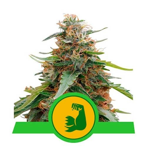 HulkBerry Automatic - Royal Queen Seeds - Seed Banks