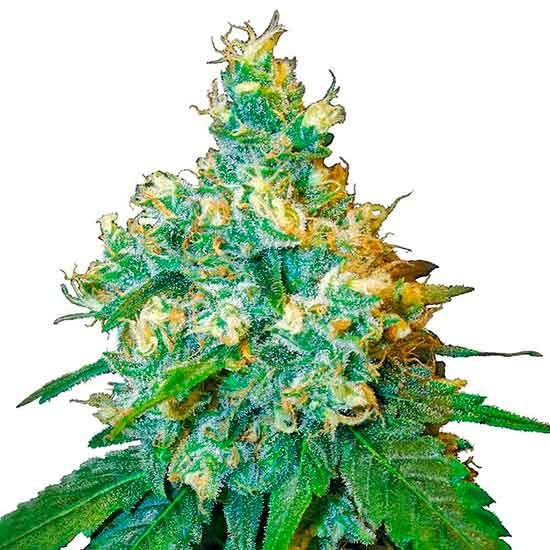 Jack Herer - Sensi Seeds - Seed Banks