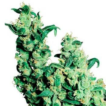 JACK HERER REGULAR - Sensi Seeds - Seed Banks