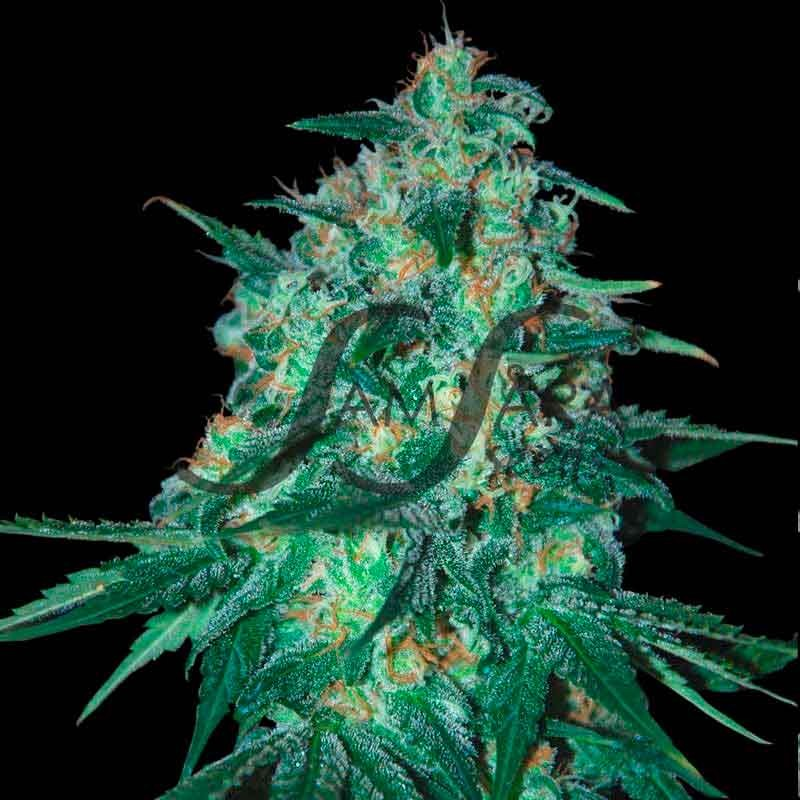 Jekyll Passion - FEMINISED SEEDS - Samsara Seeds
