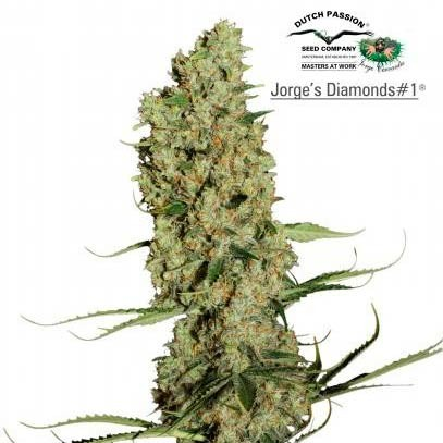 JORGE'S DIAMONDS #1 - Dutch Passion - Seed Banks