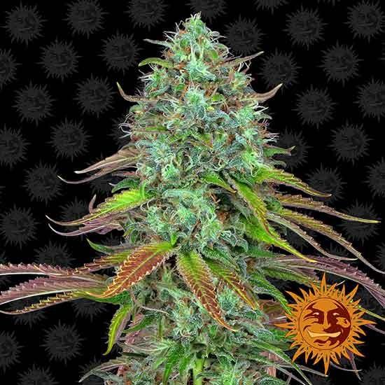 LSD Auto - Barney's Farm - Seed Banks