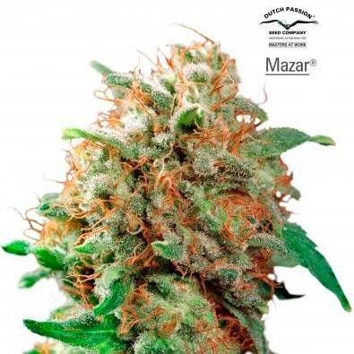 MAZAR REG - Dutch Passion - Seed Banks