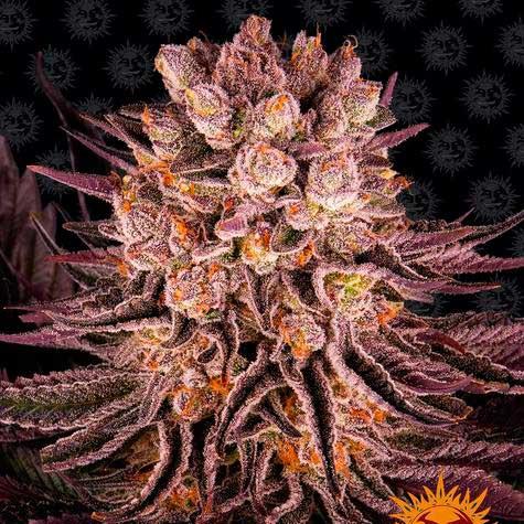 Mimosa x Orange Punch - Barney's Farm - Seed Banks