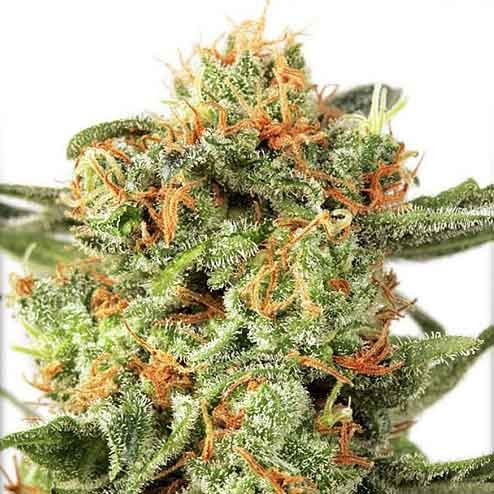 Orange Hill Special - Dutch Passion - Seed Banks