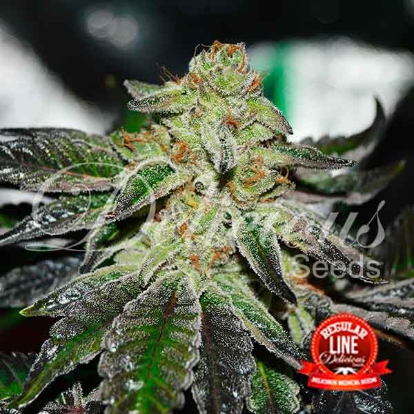 Original Juan Herer Regular - Delicious Seeds - Seed Banks